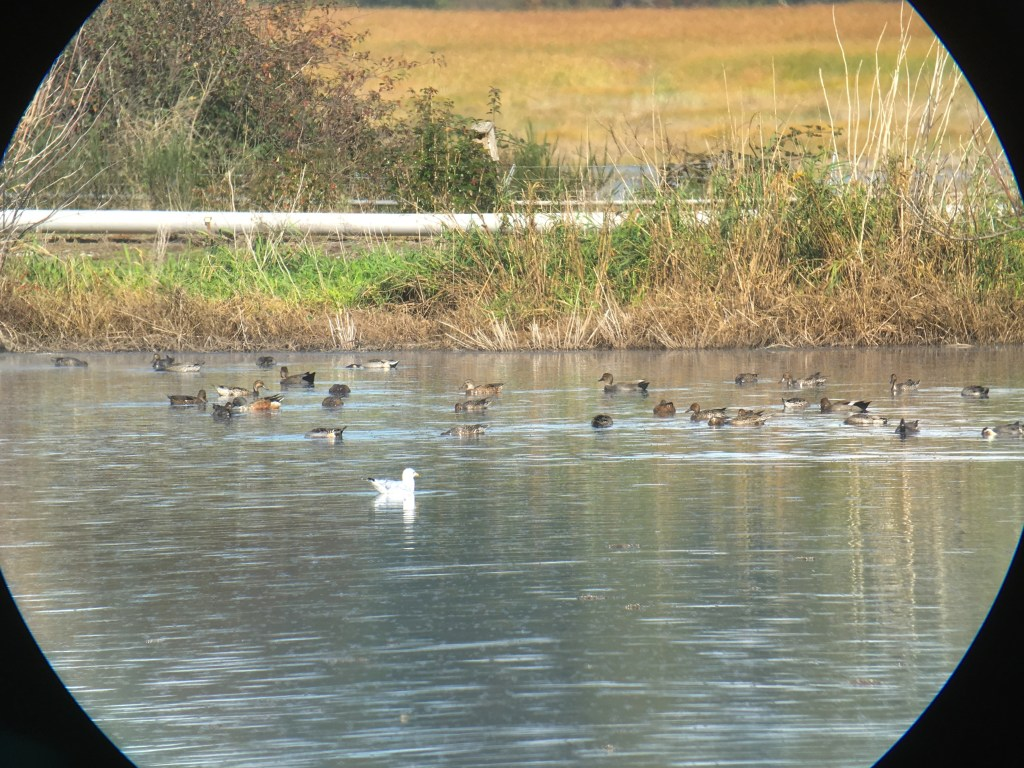 It's nice to see many ducks starting to return to Vancouver: fall/winter are well on their way.