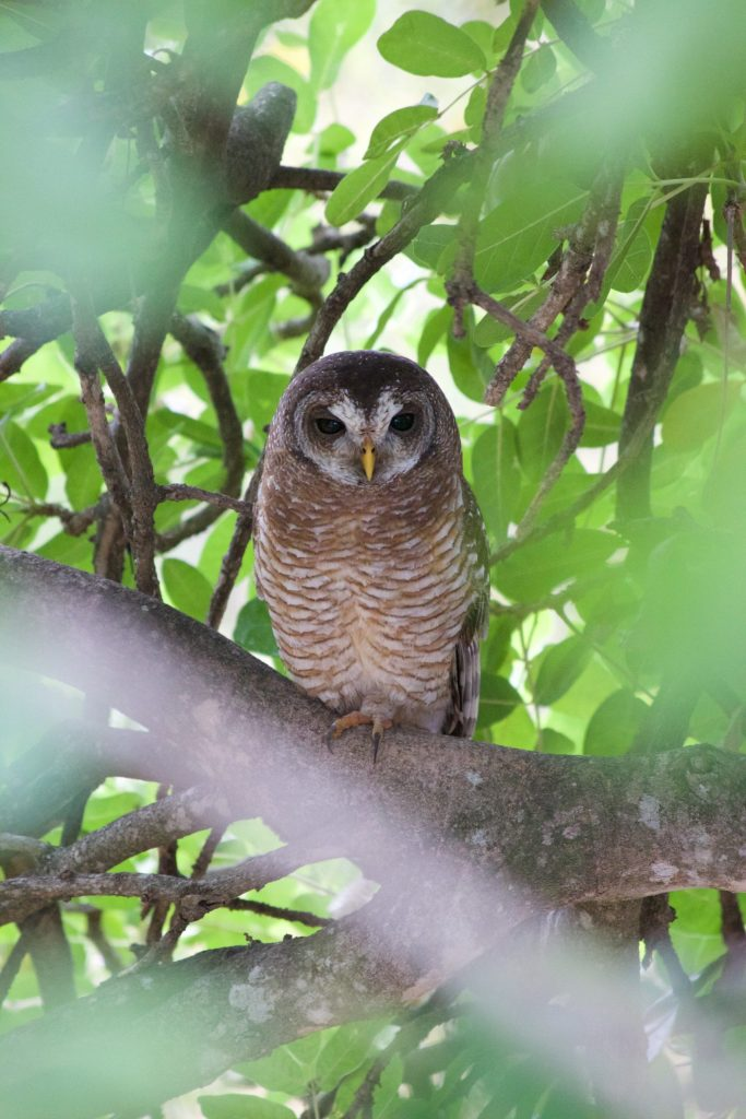 ...unlike this juvenile African Wood-Owl who is straight across from me. I got a nice bonus here with the way the leaves in the foreground framed him for me.