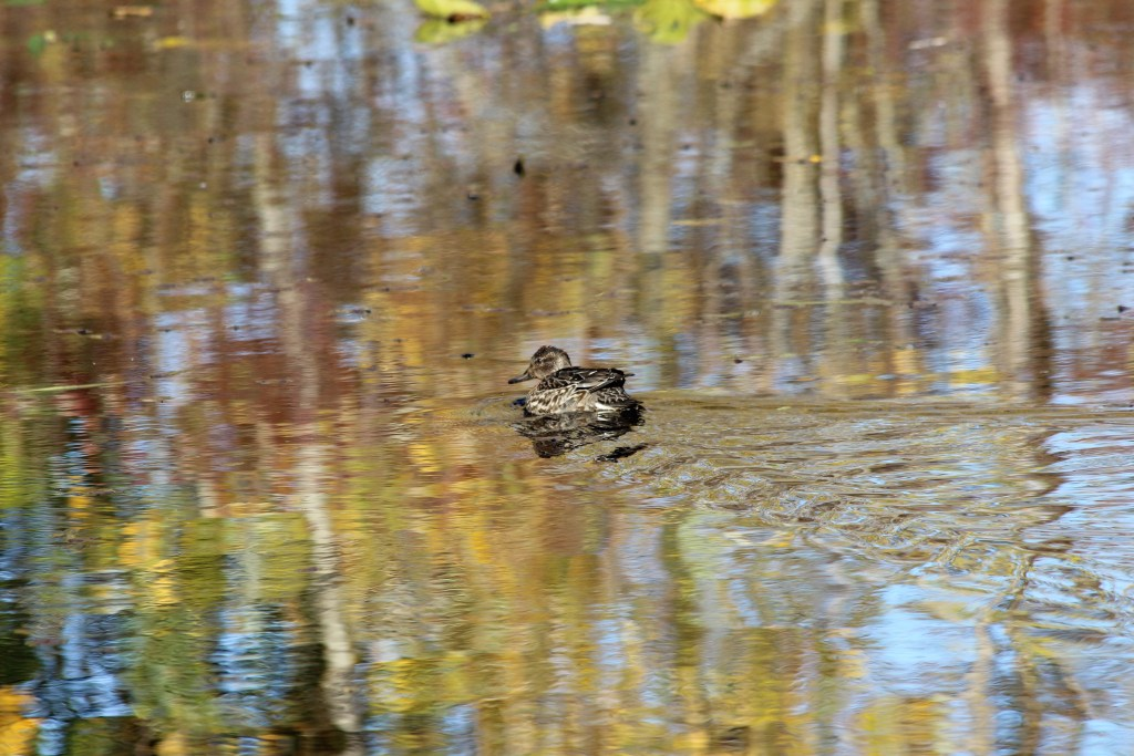 A female Green-winged Teal in a pond reflecting fall colours