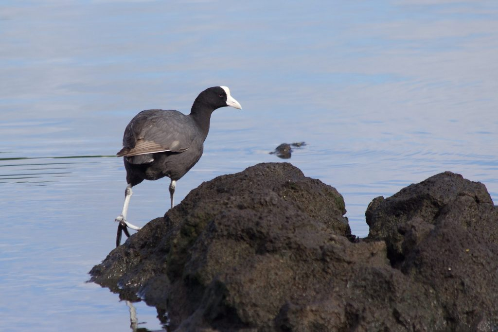 I really liked the volcanic rock in this photo, so I gave the Hawaiian Coot 1/3 and the rock 2/3.