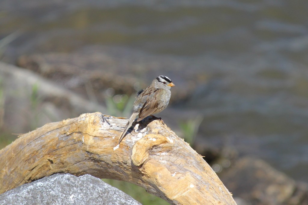 White-crowned Sparrow at Grant Narrows