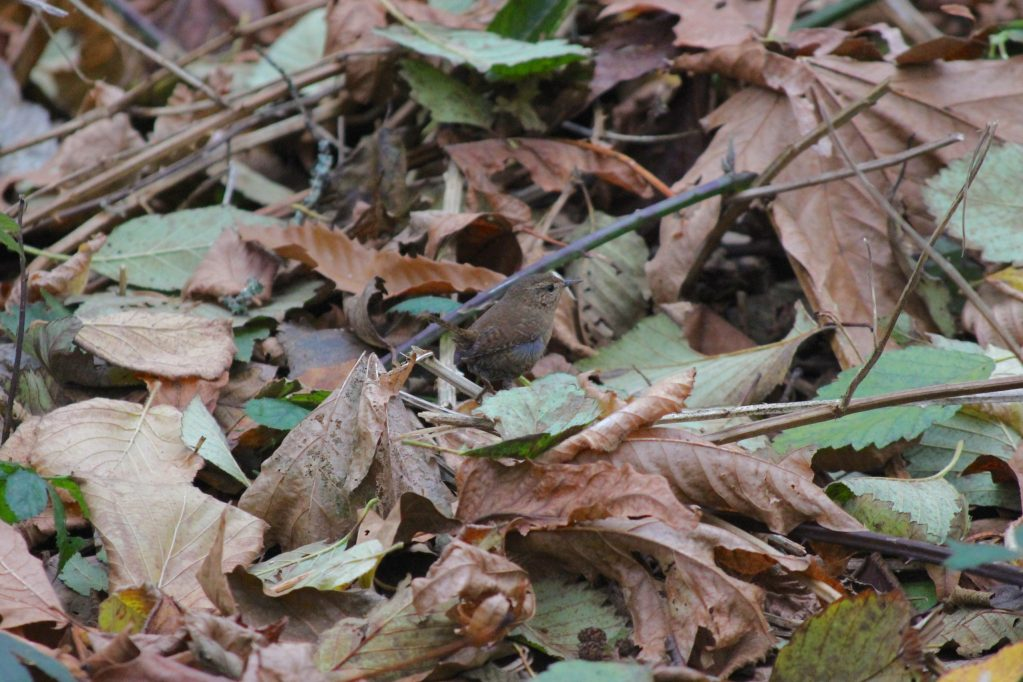 A tiny Pacific Wren in the leaf litter