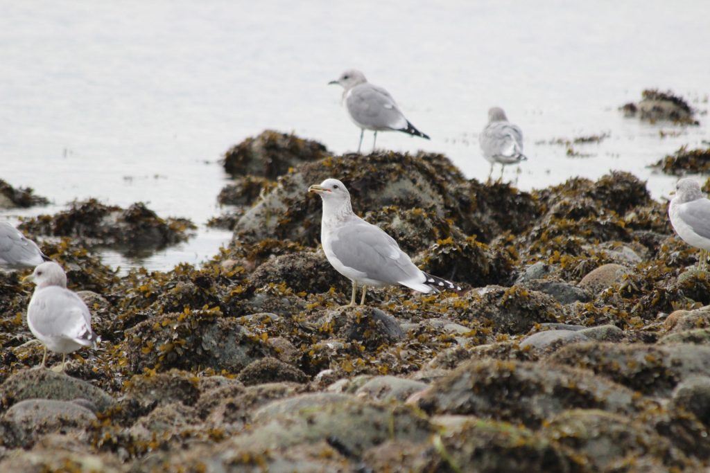 A California Gull surrounded by smaller Mew Gulls