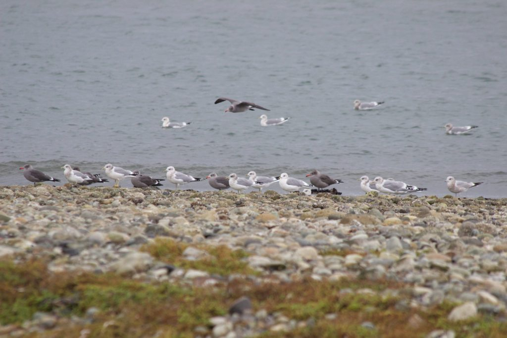 Heermann's Gulls and Mew Gulls