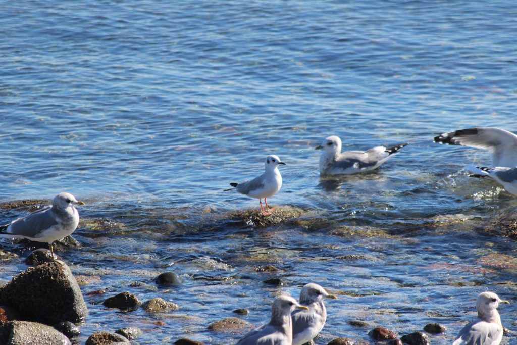 A Bonaparte's Gull surrounded by Mew Gulls