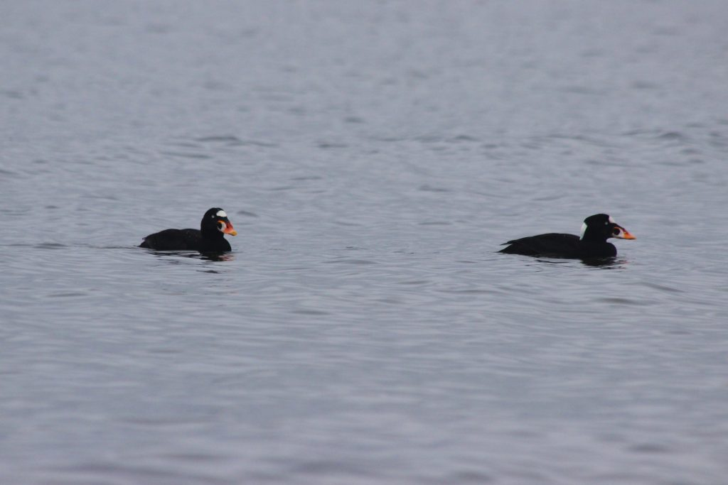 Two male Surf Scoter