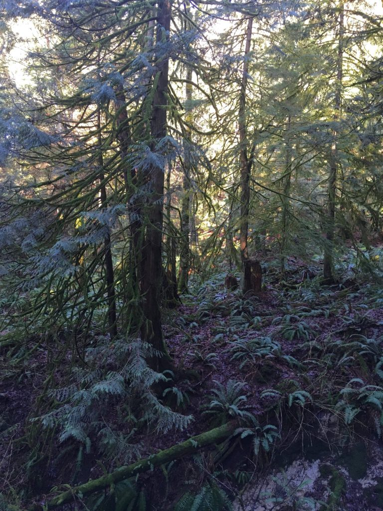 Characteristic PNW temperate rainforest: Western Red Cedar (and some Hemlock) above and Western Sword Fern below