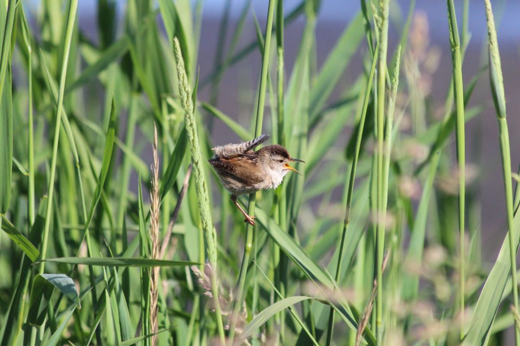 A Marsh Wren singing at Iona in the spring