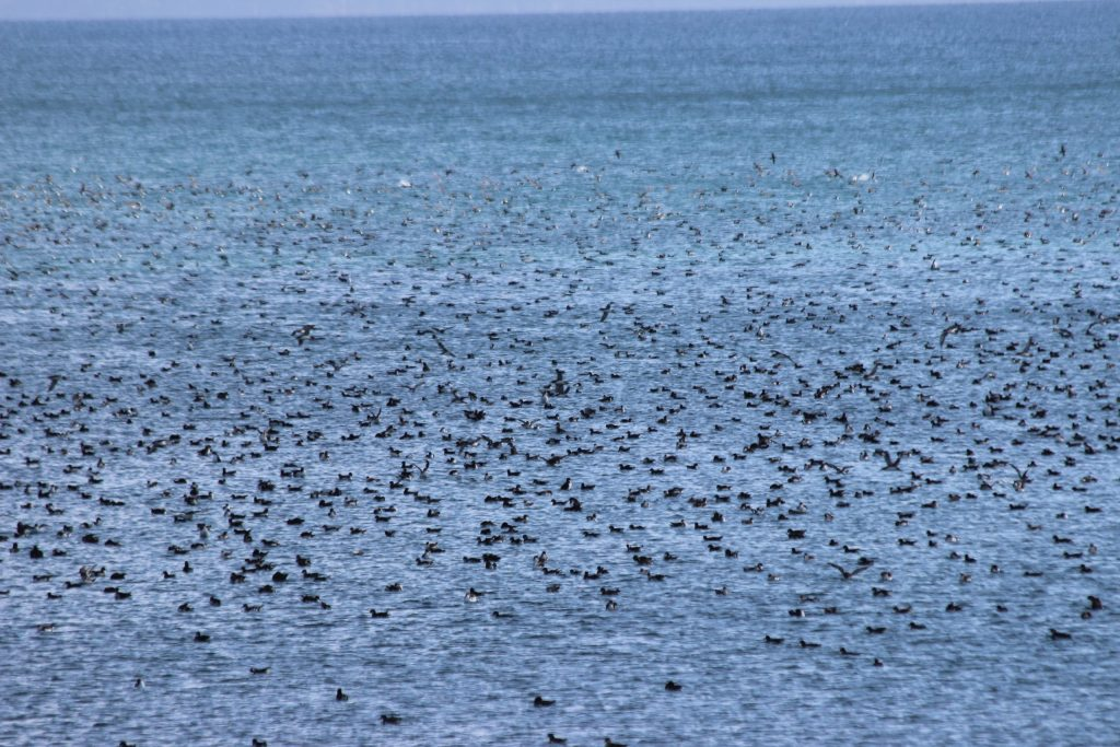 A tiny snapshot of the thousands of Fluttering Shearwater at Shakespear Regional Park