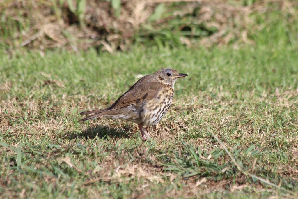 A scruffy Song Thrush in the open