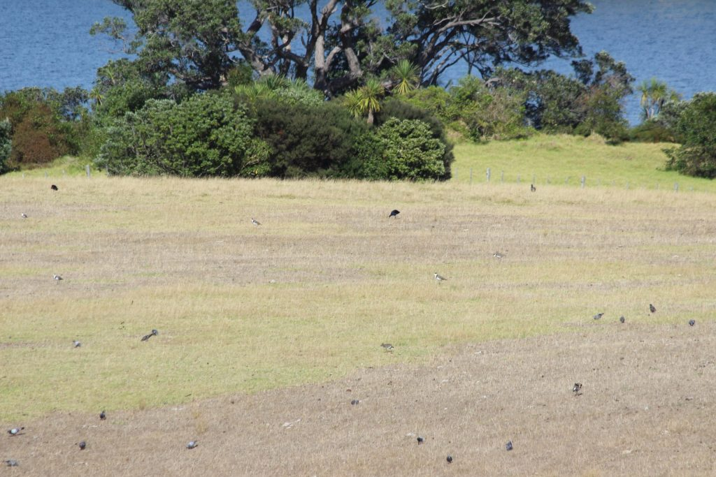 Masked Lapwing, Rock Pigeon, and Australasian Swamphen littered the fields