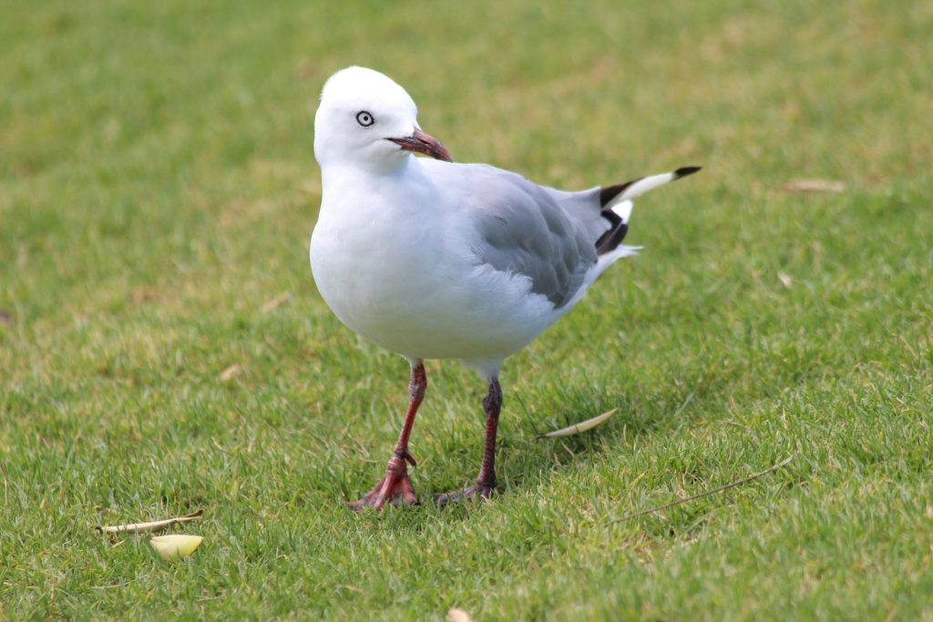 An adult Silver Gull hoping for some food scraps