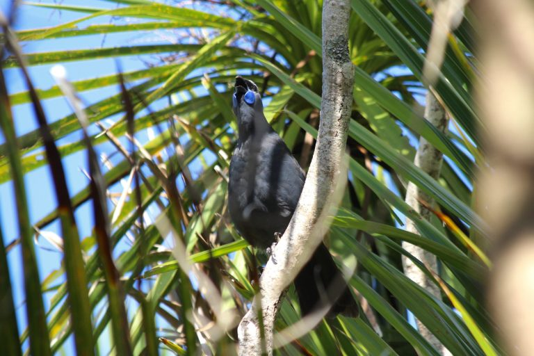 North Island Kokako (New Zealand Trip Part 1)