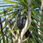 North Island Kokako (New Zealand Trip Part 1)