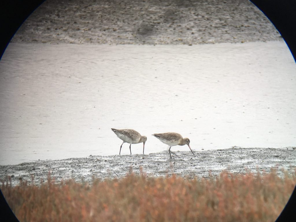 Another pair of Bar-tailed Godwit