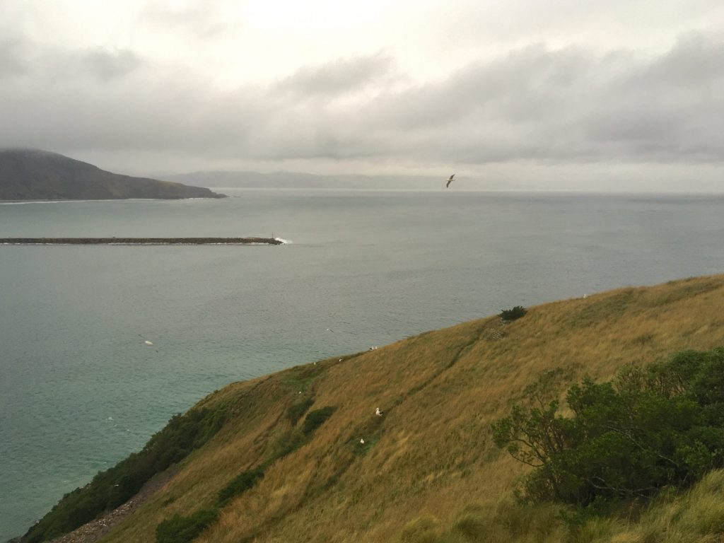 Looking out across Royal Albatross nests from a tinted and soundproofed viewing platform