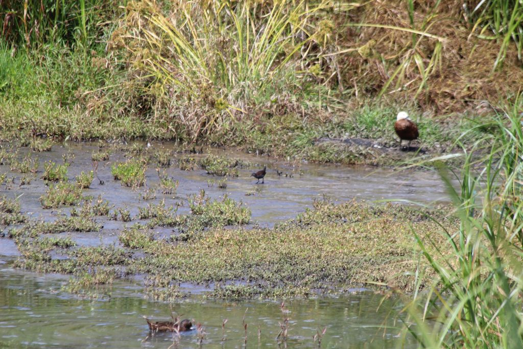 Brown Teal (foreground), Spotless Crake (middle), and female Paradise Shelduck (background)