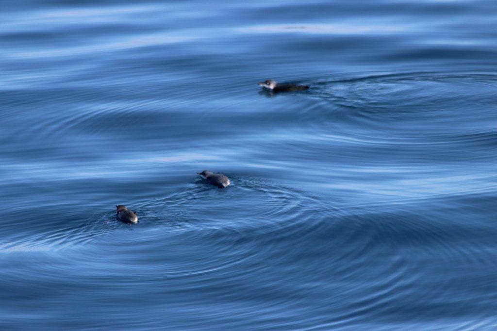 Little Penguins in the calm water between Auckland and Tiritiri Matangi