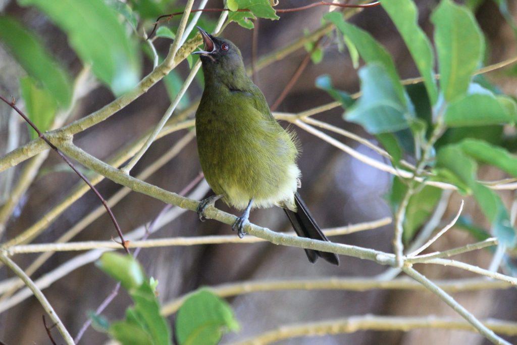 Just one of many New Zealand Bellbird singing