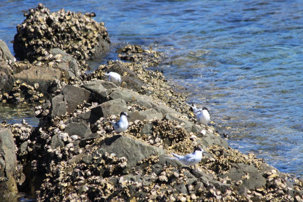 White-fronted Terns greet us on the rocks