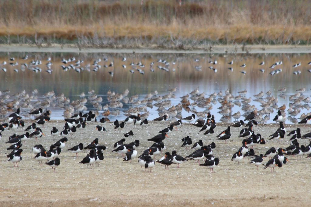 It's always interesting to see the depths of water, or distance from water, shorebirds choose to roost on