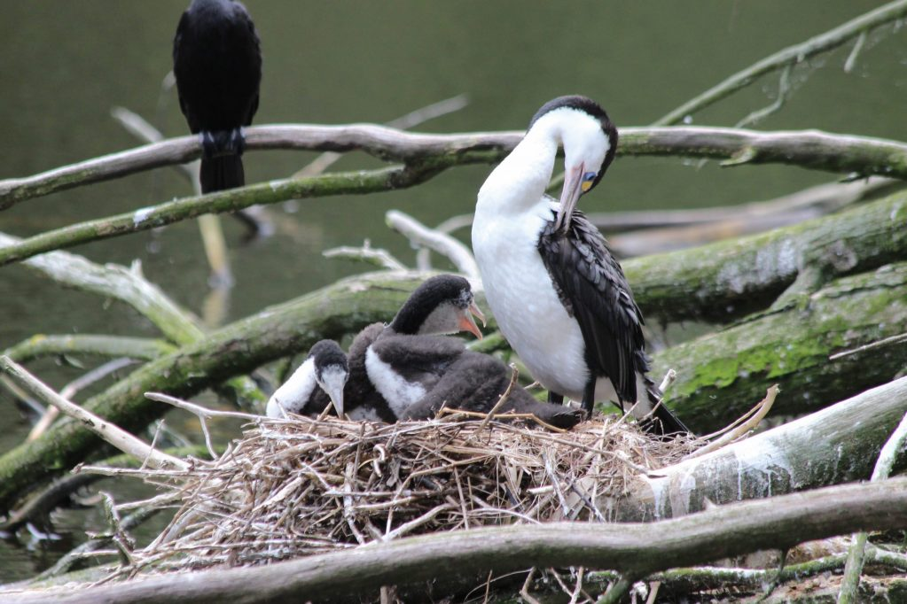 Pied Cormorant with young