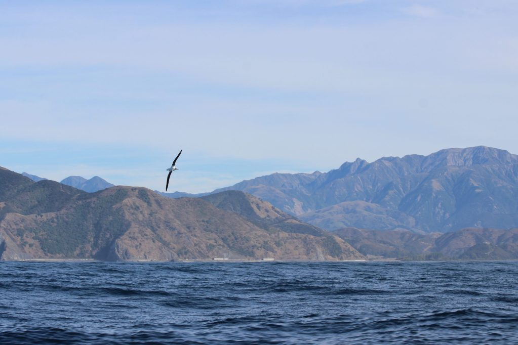 A Wandering Albatross banks in front of the New Zealand coast