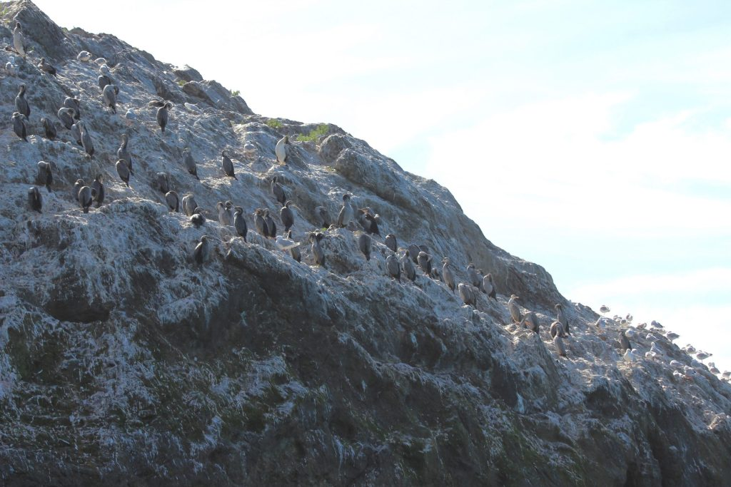 Spotted Shag and Silver Gull roost