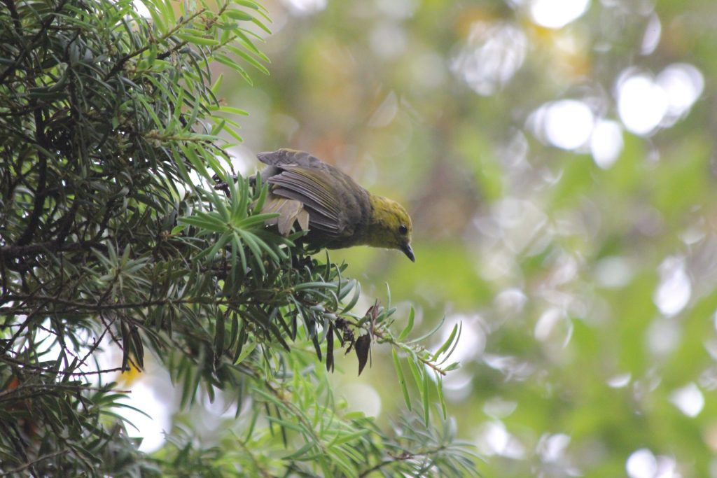 A Yellowhead (in somewhat duller plumage) on a conifer