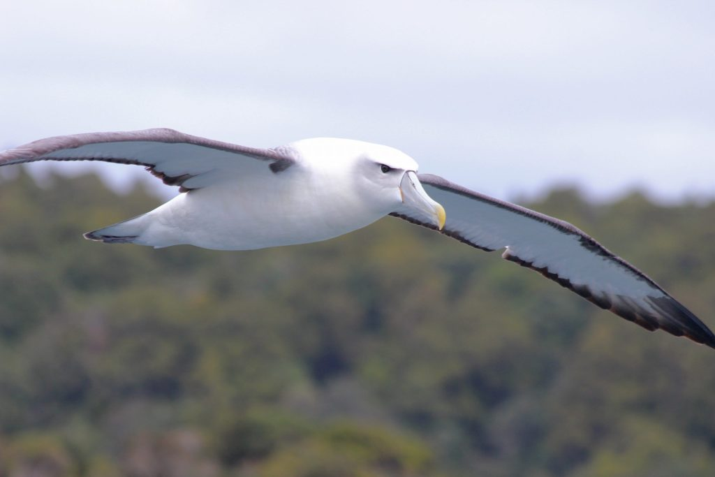 Gotcha! That's a White-capped Albatross.