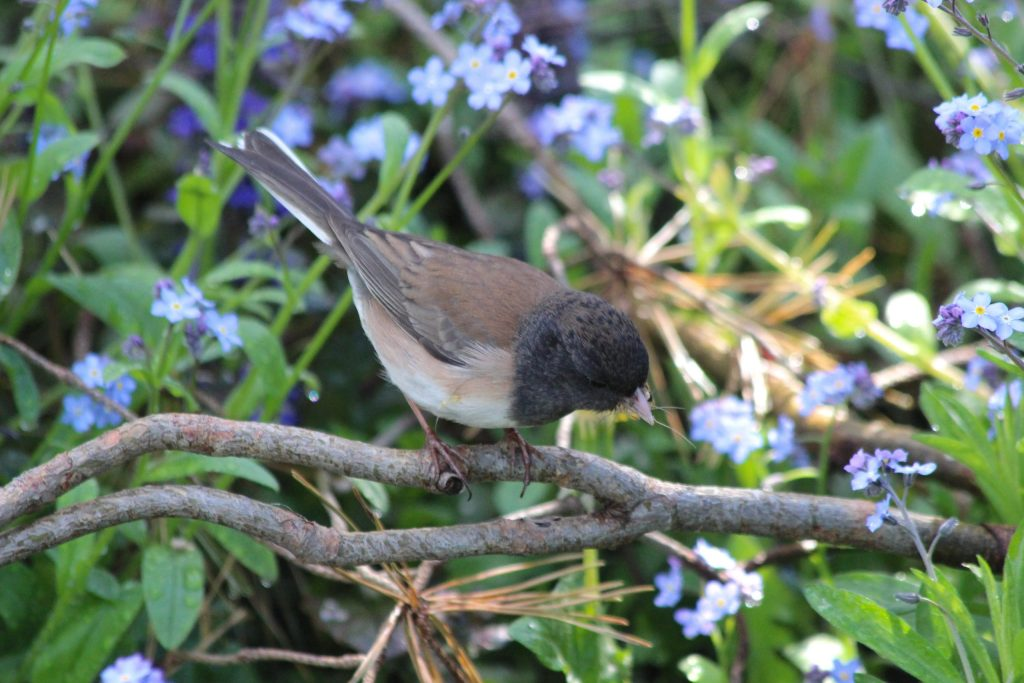 A Dark-eyed (Oregon) Junco enjoys QE Park's well-maintained gardens