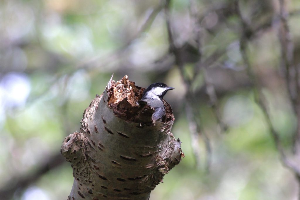 A Black-capped Chickadee busily excavates its nest cavity