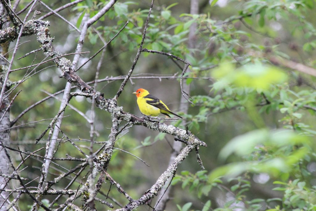 Western Tanager at QE Park