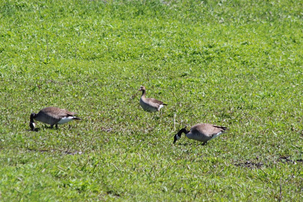 A Greater White-fronted Goose among Canada Geese