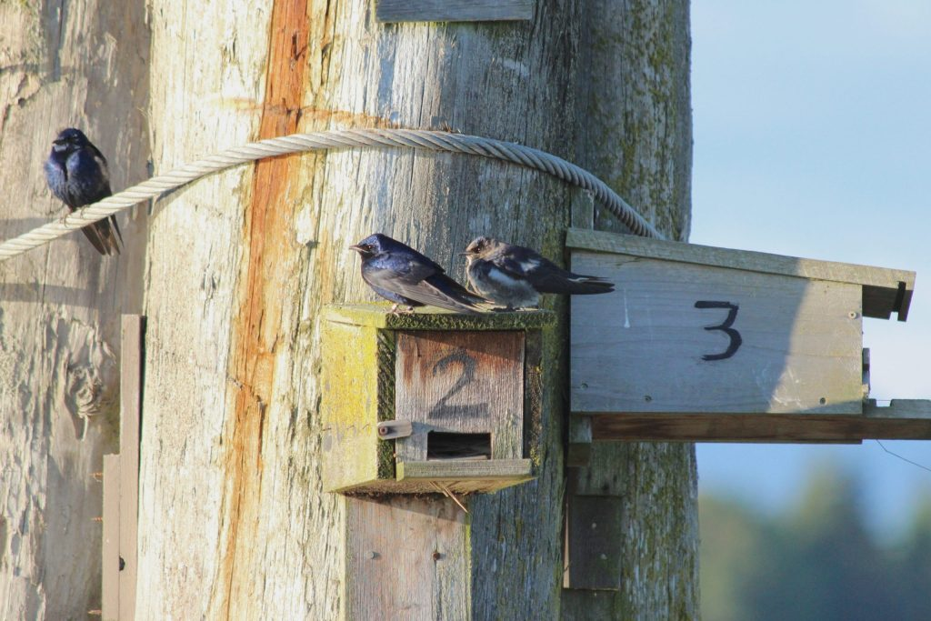 Purple Martin: two males and a female