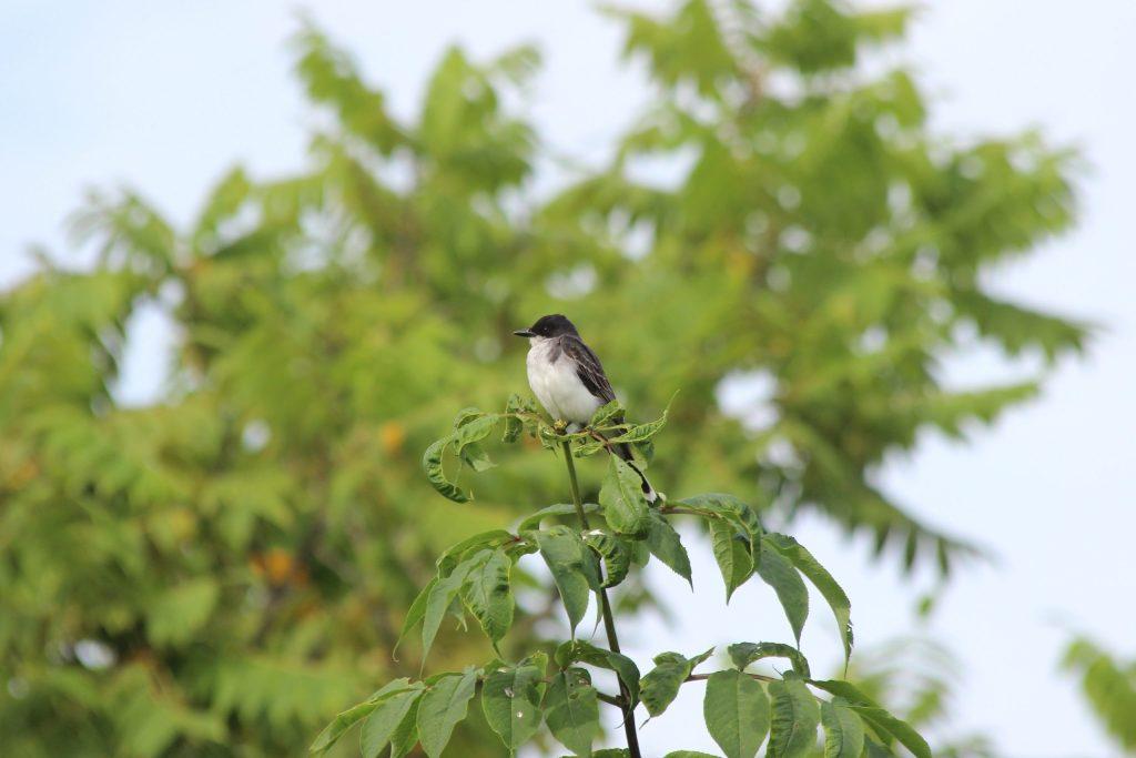 Eastern Kingbird at Colony Farm