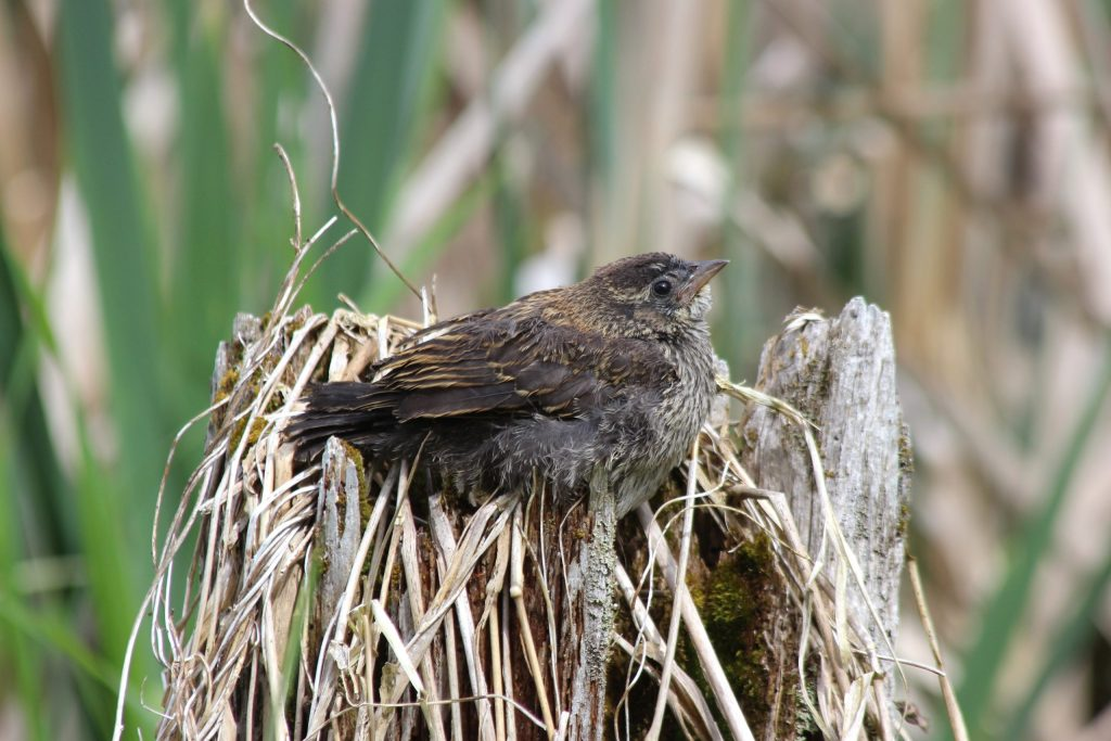 A fledgling Red-winged Blackbird hanging out at the marsh