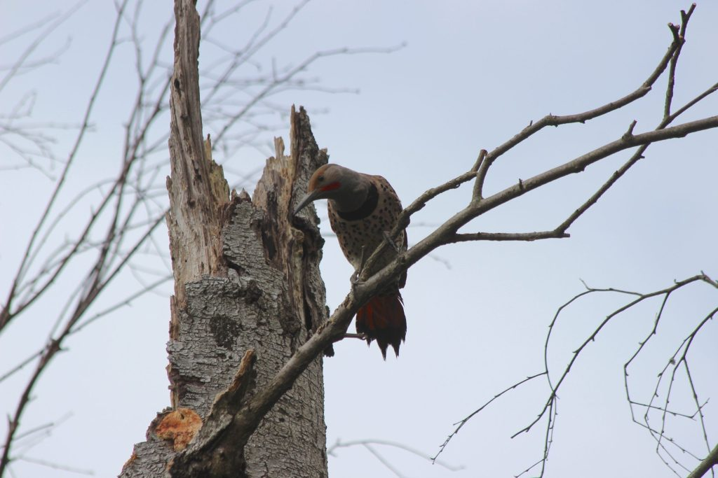 A curious Northern Flicker