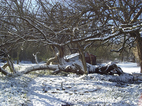 bois d' arc in snow