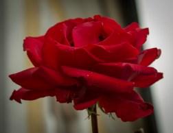 The roses still flowers.