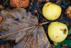 The apples and fallen leaves from the autumn of 2013. The blackbirds love to feast on the fallen apples.