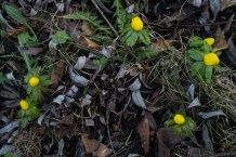 The winter aconite is one of the heralds of spring.