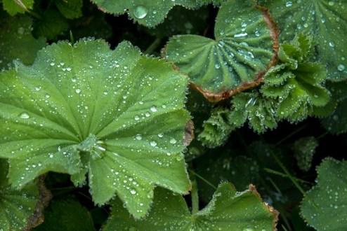 Lady's mantle catch the rain drops.
