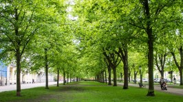 The trees on Kungsgatan, this time the lawn on the side of the sidewalk.