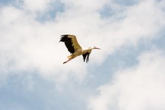 WIld stork in the sky.