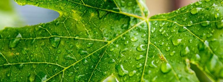 Rain on the grapevine.