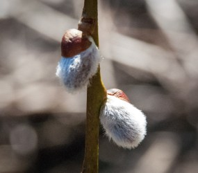 Willow catkins.