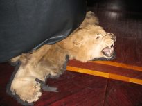 A lion-skin within Kelly's Bar, beneath the piano.