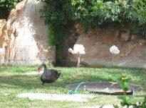 Flamingoes and a black swan @ Emerald Bay.