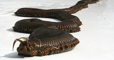 giant_sea_worm